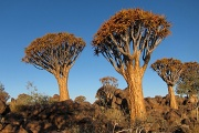Quivertree forest